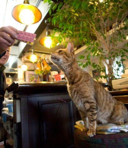 和蘭豆・看板猫のレオさんがマスターに遊んでもらう