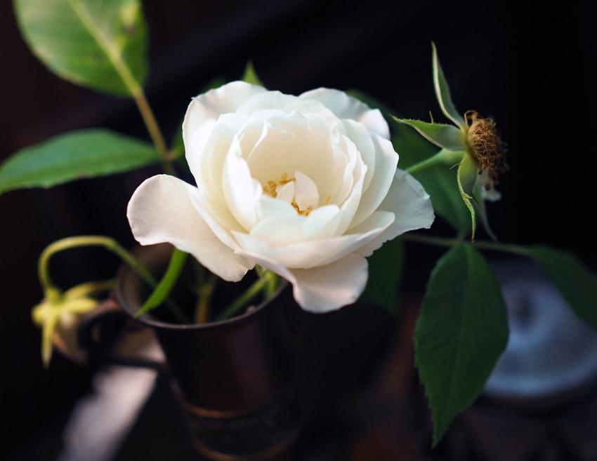 テーブルに飾られた白薔薇