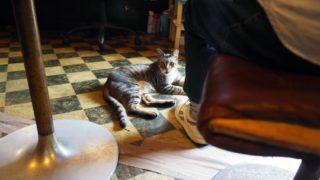 お客さんの足元にいるキジトラ