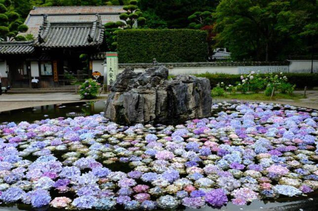 久安寺・池に浮く紫陽花