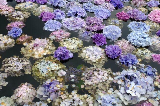 久安寺・池に浮く紫陽花・アップ