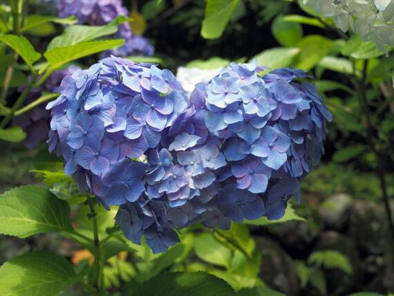 久安寺・ハート型の紫陽花