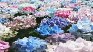 具足池に浮かぶ紫陽花