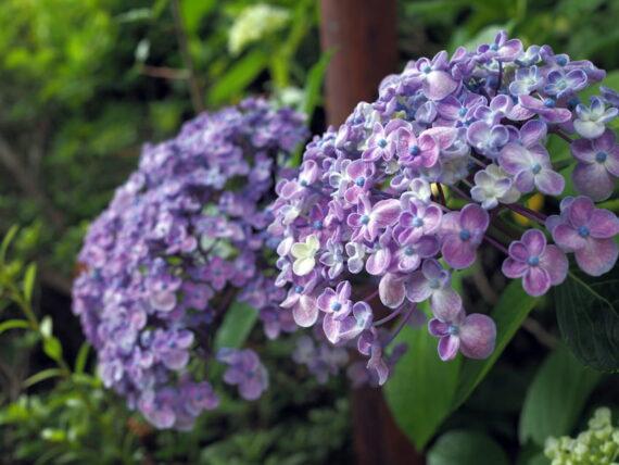 久安寺・2つ並んで咲く紫陽花